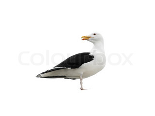 Talking måge , Larus marinus , Great Black -backed Gull