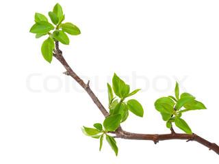 Branch Apfelbaum mit Feder Knospen isoliert auf weiß