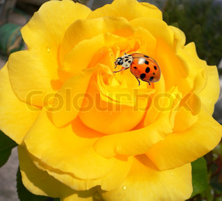 Beautiful yellow rose with tiny drops of dew and ladybug