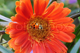 ladybug on red flower