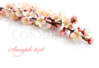 Branches of apricot flowers on a white background.