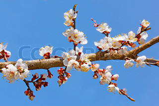 Flowering apricot tree branch against the background of blue sky
