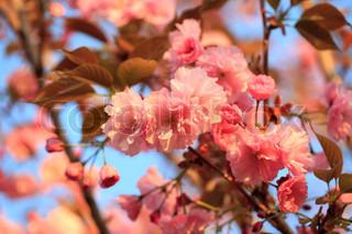 Sakura blomstrende træ i foråret.