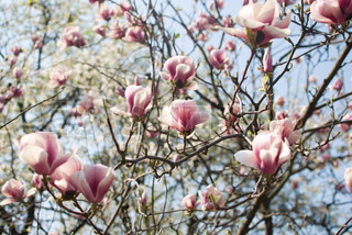 big flowers of pink magnolia on tree