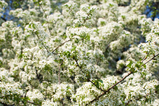 background of bird-cherry tree flowers against blue sky