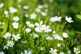 beautiful spring white flowers in the grass