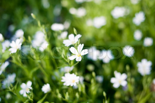 small white flowers in bloom in a meadow