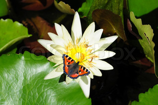 White water lily and butterfly