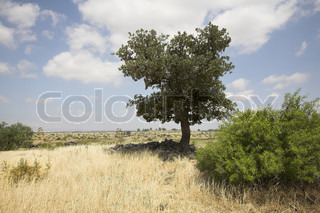 Fields with a yellow dry grass and a tree on a background of the cloudy sky