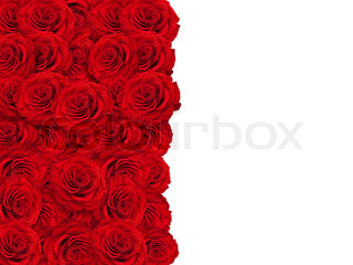 red roses frame over white background, copyspace