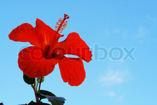 Hibiscus Flowers against a blue sky.
