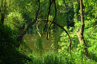 Summer forest with green trees, grass and small lake