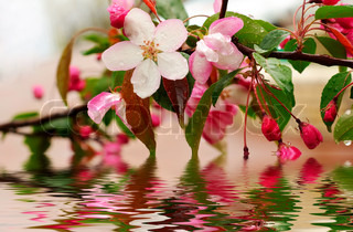 Blossoming of sakura flowers in the water