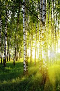 birketræer i en sommer skov