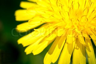 yellow dandelion closeup on a green background