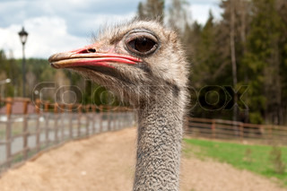 ostrich portrait in the farm, close up, background