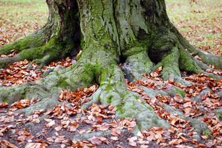 Old tree roots and fall leaves in a park
