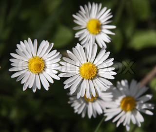 Chamomile flowers on the green grass