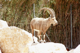 Billy goat with big horn