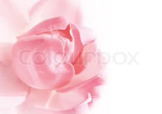 pink rose på hvid baggrund