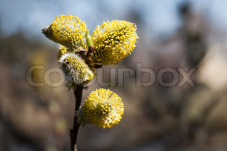 Spring nature willow tree plant branch bud growth