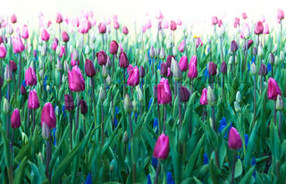 purple Tulips and blue Hyacinths with white background