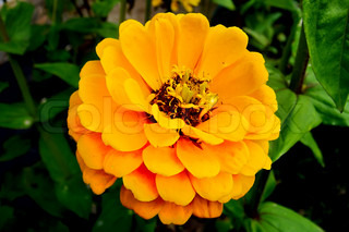 Yellow zinnia flower on green background