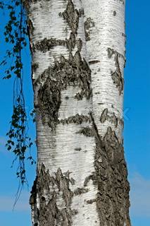 The trunk of a birch tree against the background of a blue spring sky