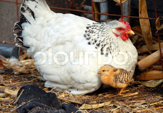 adult white hen with baby chicken outdoor