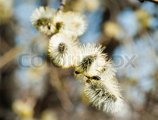 spring flowering tree willow buds jelly