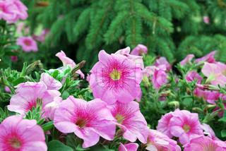 Pink petunier