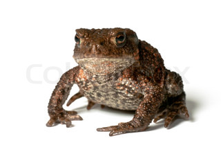 Small common toad, bufo bufo, facing the photographer