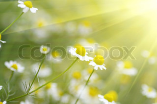 Fild of camomiles at sunny day at nature