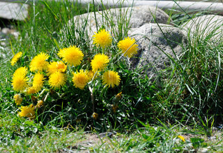 Decorative dandelions in the middle of the grass