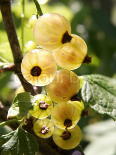 Ripe berries of a white currant under the sun