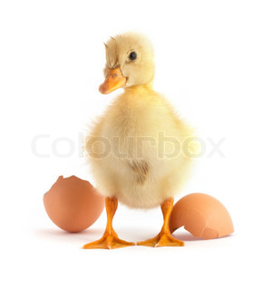 Yellow small duck with egg isolated on a white background