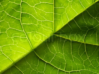 The big green leaf for application as a background