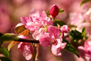 Branch of a pink apple blossoms closeup. Small DOF