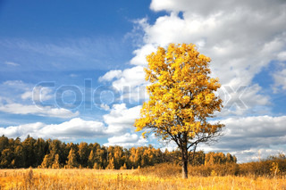 Bright colored fall tree with clear blue sky