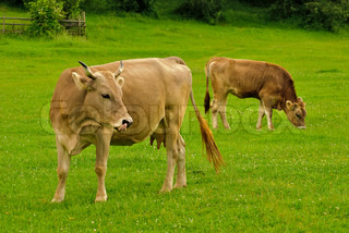 Cow lick itself and calf graze on the grass with yellow flowers in the summer