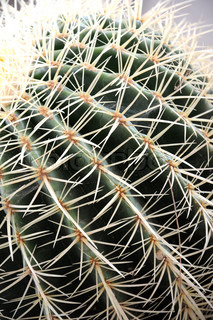 A close up of some type of cactus related desert plant