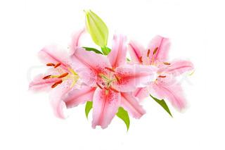 Pink liljer isoleret på hvid baggrund