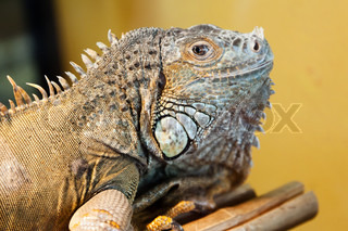 Reptile animal nature wildlife green iguana lizard