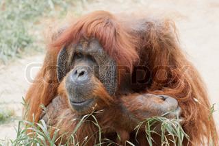 Orangutang who living in zoo