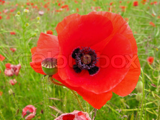 red flower of a corn poppy, papaver rhoeas