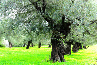 Rows Of Old Olive Trees On The Plantation Of Rhodes