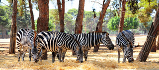 Zebra, Each Animal Has An Individual Striping Pattern