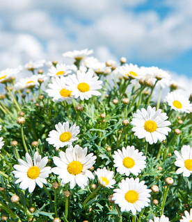 fresh daisies against a blue cloudy sky