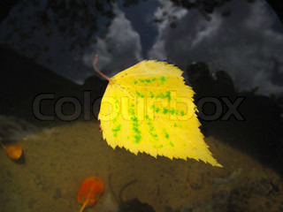 autumn leaf of birch tree floating in water