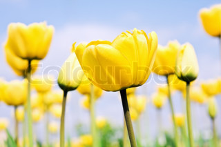 yellow tulips in a field on a background of blue sky.